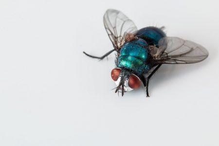 Se débarrasser des mouches maison